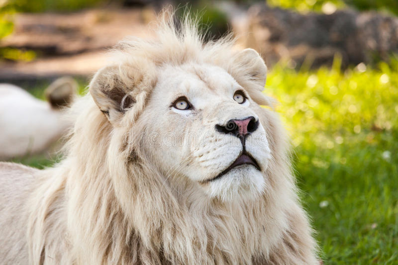White lion royalty free stock photography