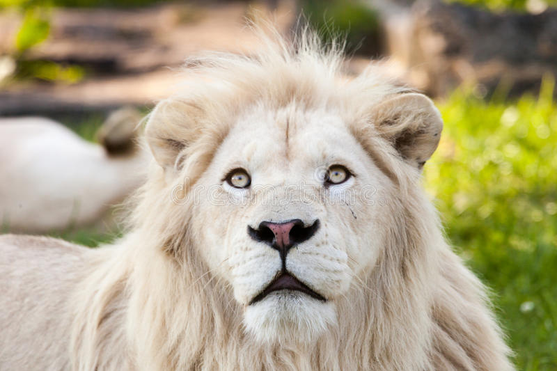 White lion. Close up shot of white lion portrait royalty free stock images