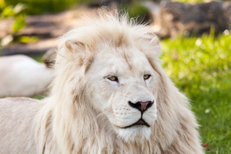 White lion. Close up shot of white lion portrait royalty free stock image