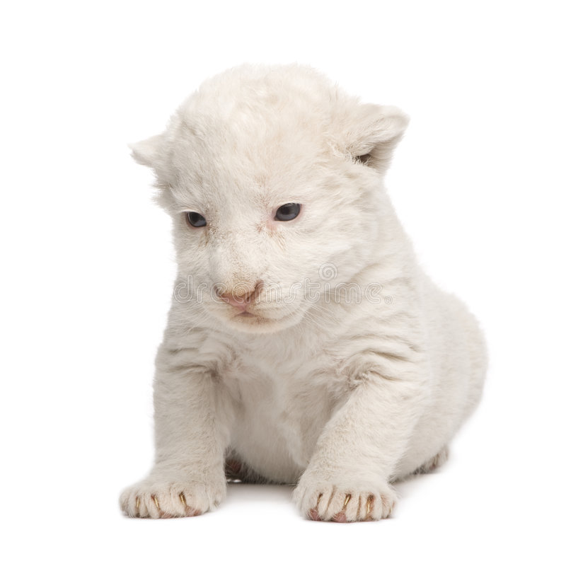 Download White Lion Cub (1 week) stock photo. Image of whisker - 6003832