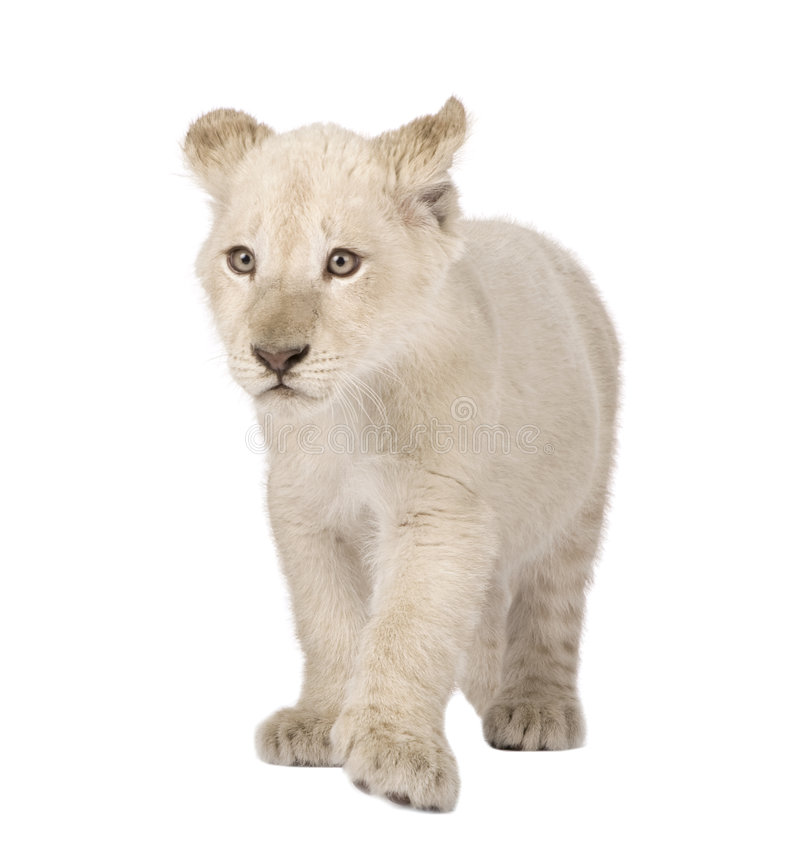 Free White Lion Cub (12 Weeks) Royalty Free Stock Images - 6073179