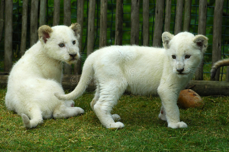 White lion cubs. Two cute white lion cubs watching other lions in a game park in South Africa royalty free stock photos
