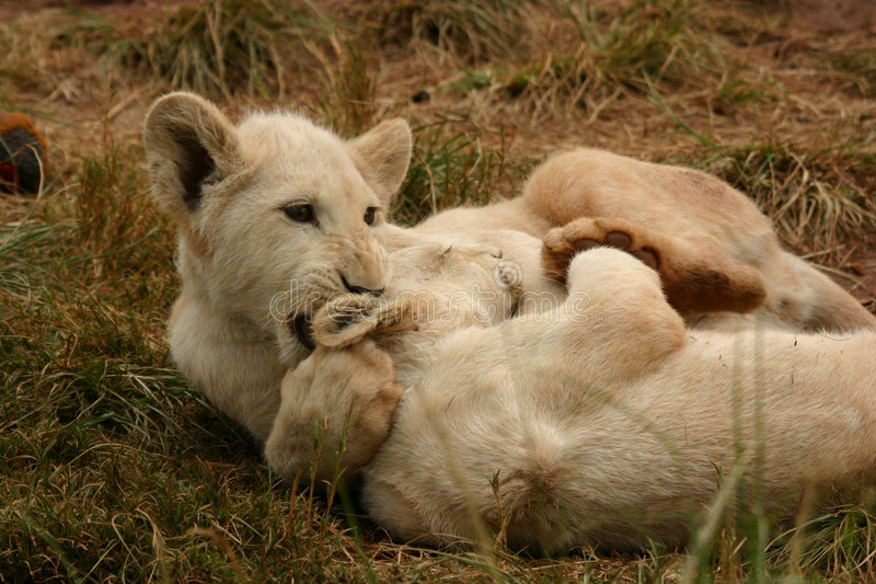 White lion cubs. Vary rare white lion cubs royalty free stock image
