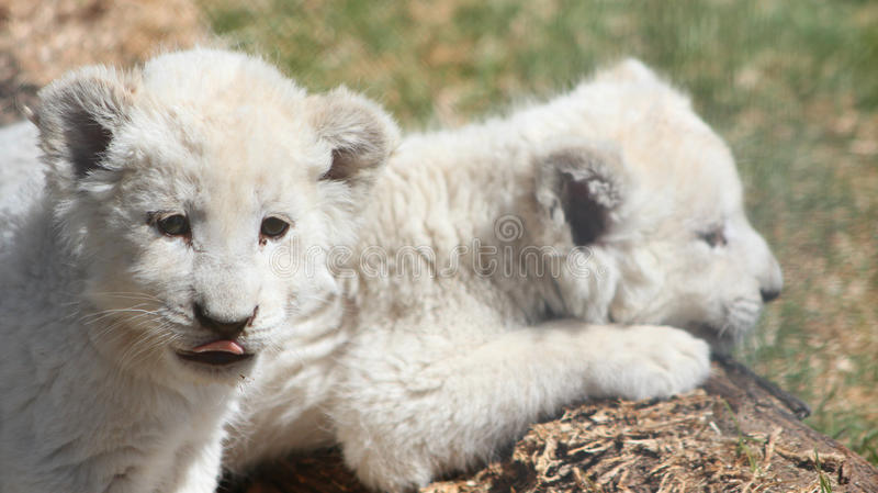 White Lion Cubs. From Breeding Operation stock photo