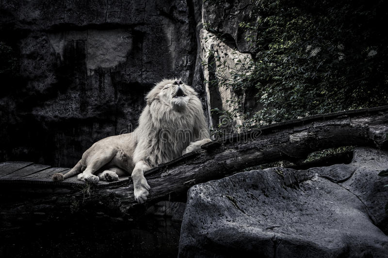 The White Lion. A white lion in a Dutch zoo. He's the boss, he's the King stock photo