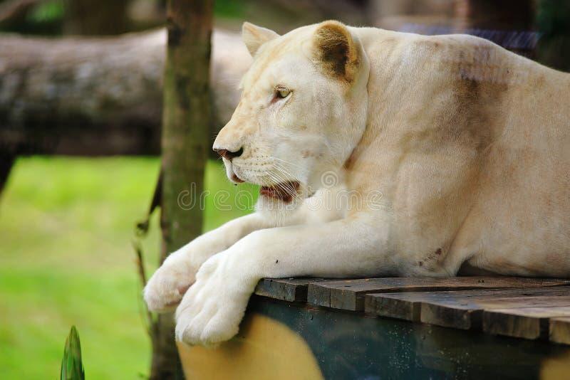 White Lion. (female) at Khaokaew open zoo Chonburi Thailand stock photos