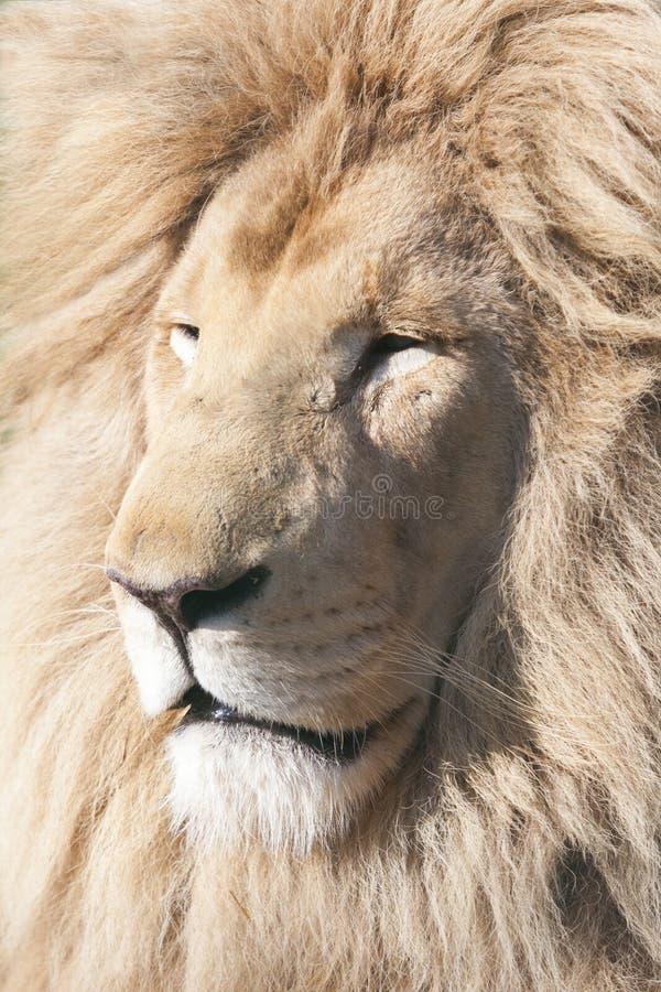 White Lion. Stock Image