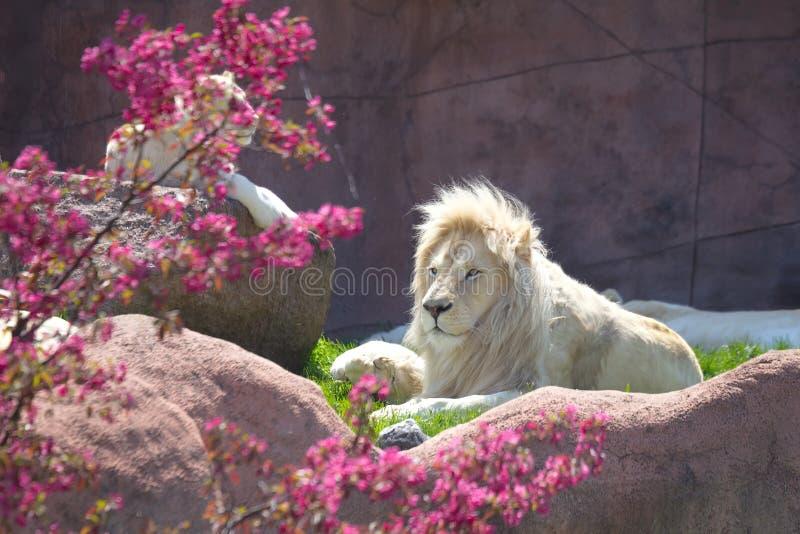 White Lion. Laying down on ground royalty free stock photos