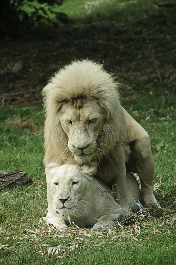 White lion and lioness mating stock image