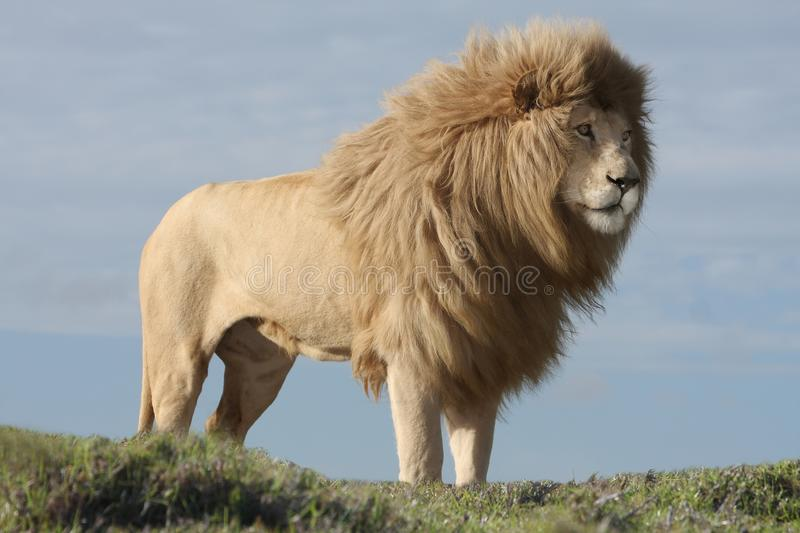 White Lion Male. Magnificent male white lion with huge mane stock photo