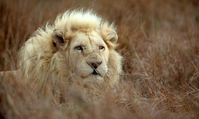 White lion male. A rare, endangered wild male white lion lying in the grass at Pumba Game reserve, Eastern Cape, South Africa stock photography