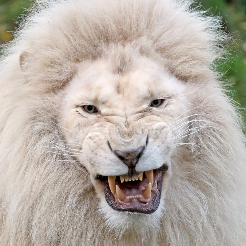 White lion. Male white lion showing his teeth stock image