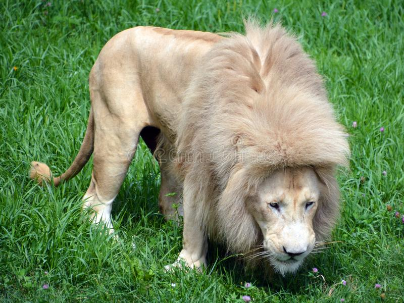The timbavati white lion. The white lion is occasionally found in wildlife reserves in South Africa and is a rare color mutation of the Kruger subspecies of lion royalty free stock photo