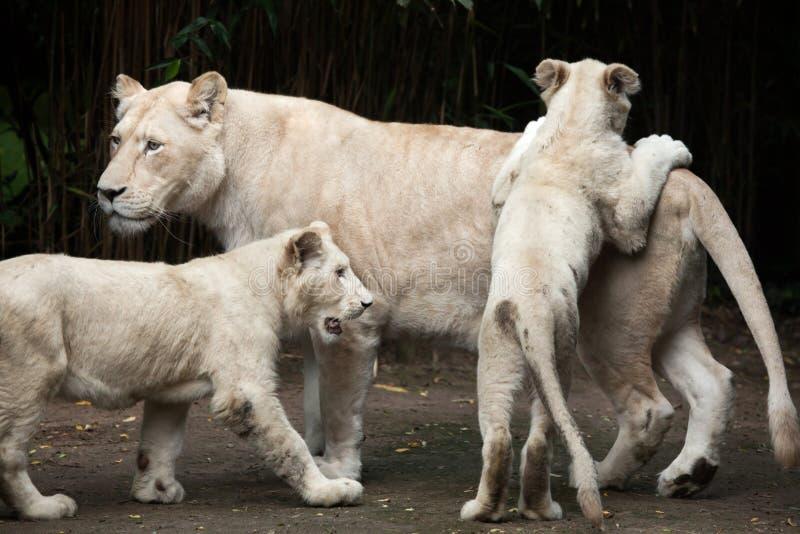 White lion Panthera leo krugeri. stock image