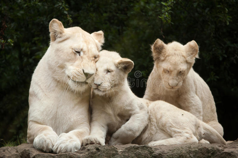 White lion Panthera leo krugeri. Female white lion with two newborn lion cubs. The white lion is a colour mutation of the Transvaal lion Panthera leo krugeri royalty free stock photos
