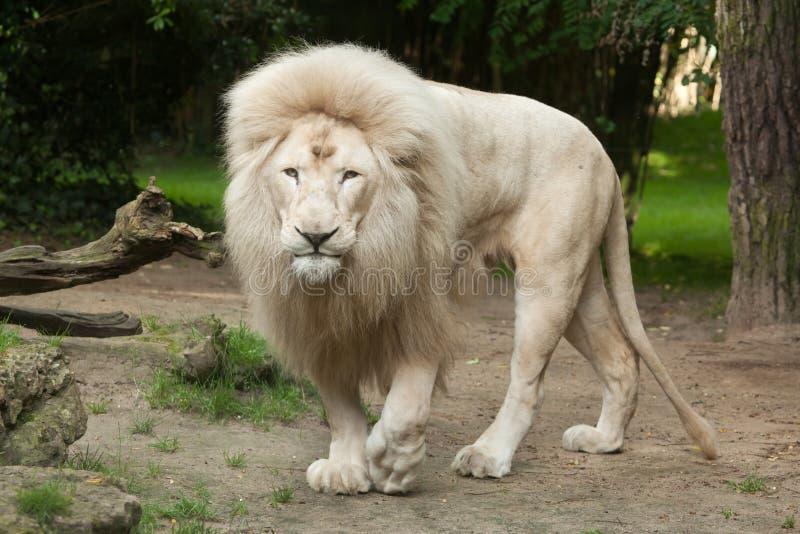 White lion Panthera leo krugeri. Male white lion. The white lion is a colour mutation of the Transvaal lion Panthera leo krugeri, also known as the Southeast stock photos