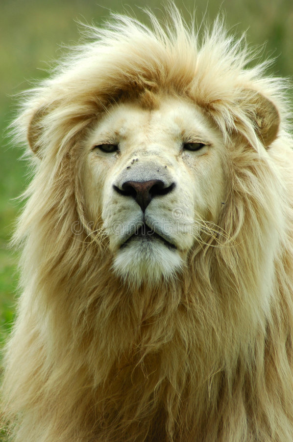 White Lion portrait stock photography
