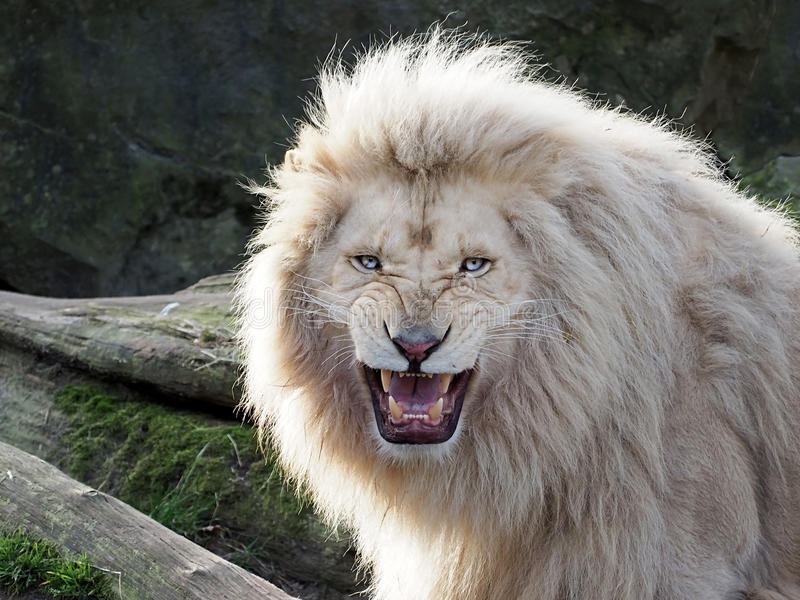 Download White Lion stock photo. Image of aggression, lion, angry - 38922696