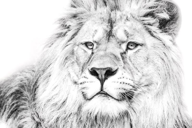 White lion. Portrait lion. Black and white portrait lion stock image