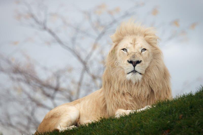 White lion portrait. Close up shot of white lion portrait royalty free stock photos