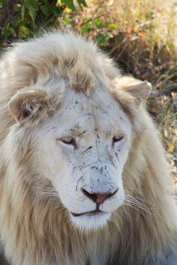 White lion portrait. Safari park Taigan Crimea stock images