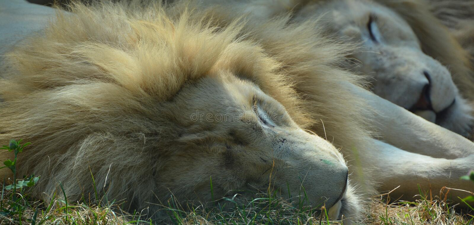 White lion is a rare color mutation. Of the lion. Until 2009 when the first pride of white lions was reintroduced to the wild, it was widely believed that the royalty free stock images