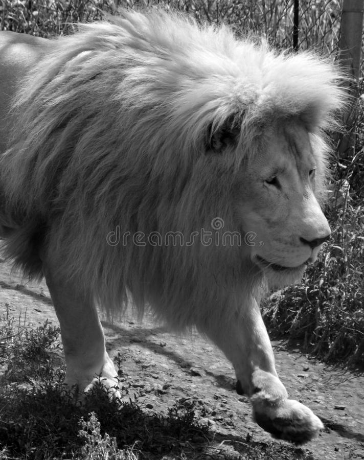 White lion is a rare color mutation. Of the lion. Until 2009 when the first pride of white lions was reintroduced to the wild, it was widely believed that the royalty free stock photos