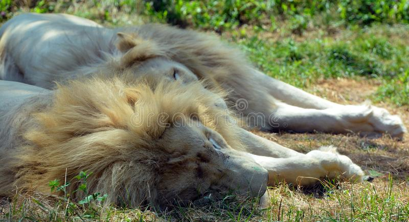 White lion is a rare color mutation. Of the lion. Until 2009 when the first pride of white lions was reintroduced to the wild, it was widely believed that the stock photos