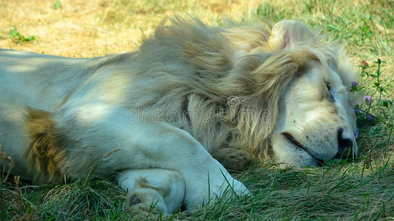 White lion is a rare color mutation of the lion. Until 2009 when the first pride of white lions was reintroduced to the wild, it was widely believed that the stock images