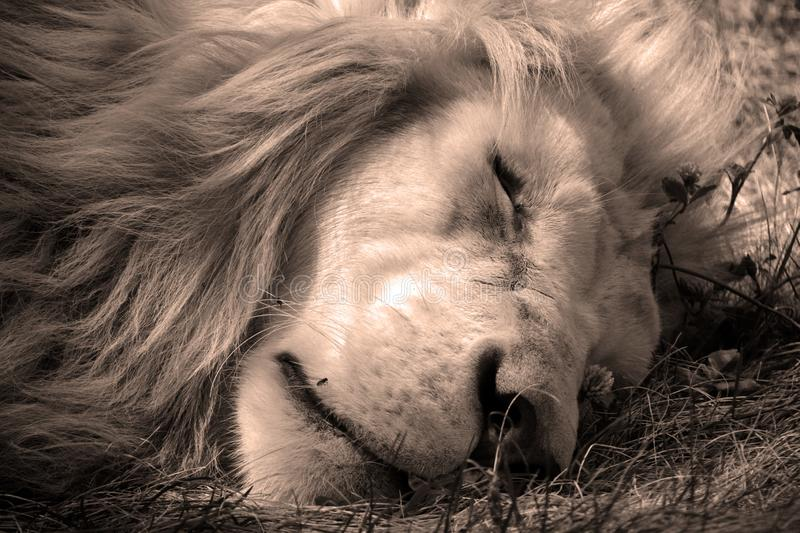 White lion is a rare color mutation of the lion. Until 2009 when the first pride of white lions was reintroduced to the wild, it was widely believed that the royalty free stock photography
