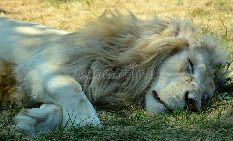 White lion is a rare color mutation of the lion. Until 2009 when the first pride of white lions was reintroduced to the wild, it was widely believed that the royalty free stock photos