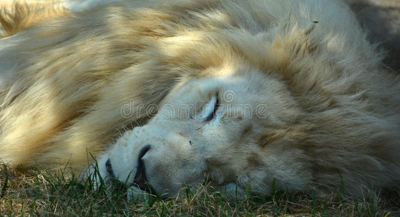 White lion is a rare color mutation. Of the lion. Until 2009 when the first pride of white lions was reintroduced to the wild, it was widely believed that the stock photo