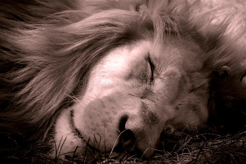 White lion is a rare color mutation of the lion. Until 2009 when the first pride of white lions was reintroduced to the wild, it was widely believed that the royalty free stock photo