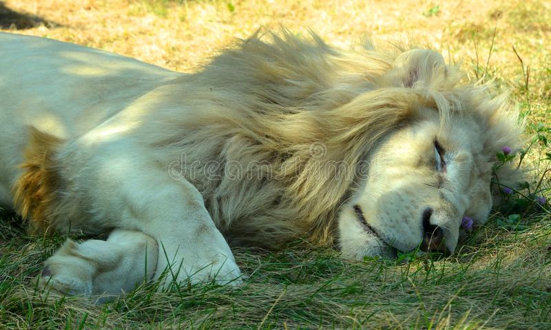 White lion is a rare color mutation of the lion. Until 2009 when the first pride of white lions was reintroduced to the wild, it was widely believed that the stock image