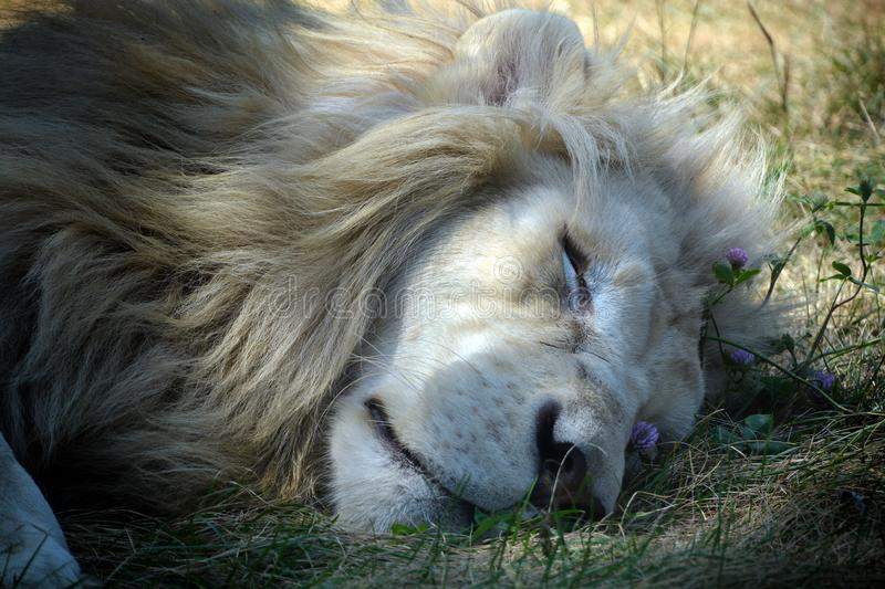 White lion is a rare color mutation of the lion. Until 2009 when the first pride of white lions was reintroduced to the wild, it was widely believed that the stock photo