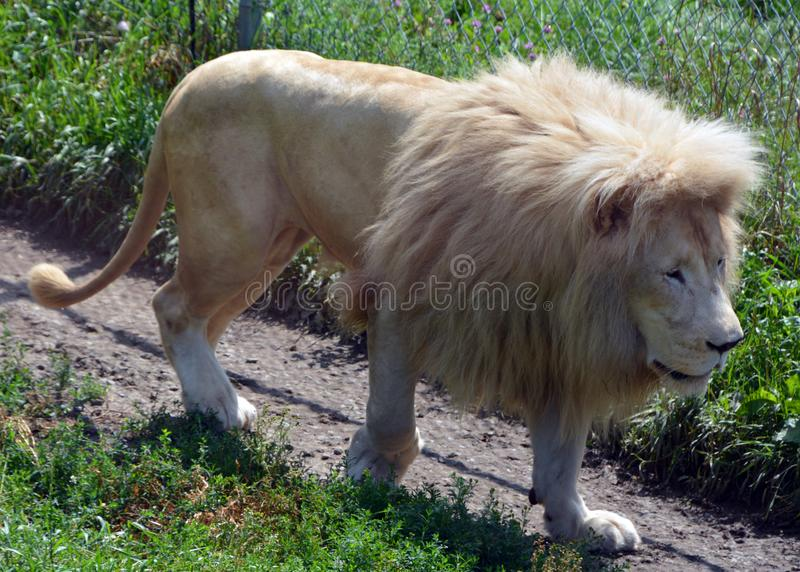 White lion is a rare color mutation. Of the lion. Until 2009 when the first pride of white lions was reintroduced to the wild, it was widely believed that the stock image