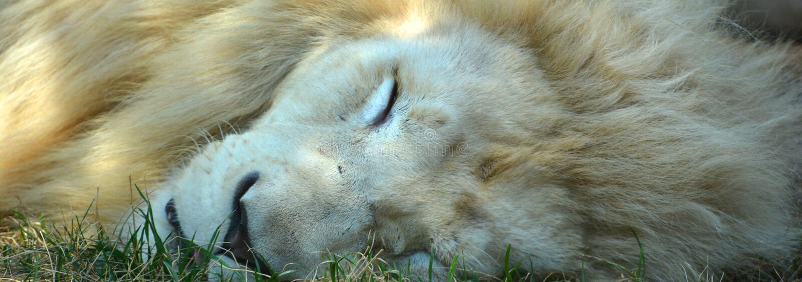 White lion is a rare color mutation. Of the lion. Until 2009 when the first pride of white lions was reintroduced to the wild, it was widely believed that the royalty free stock image