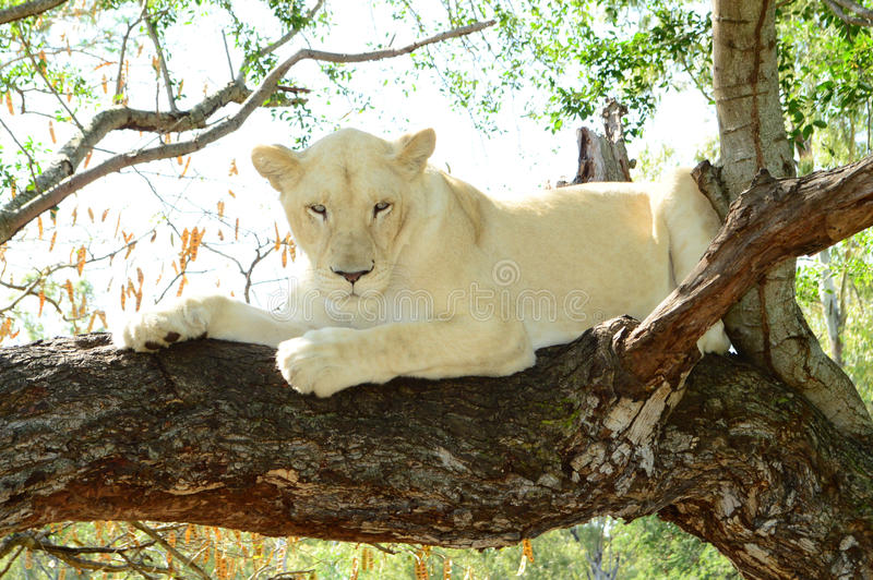 White lion. A white lion in a reservation in Mauritius stock photo
