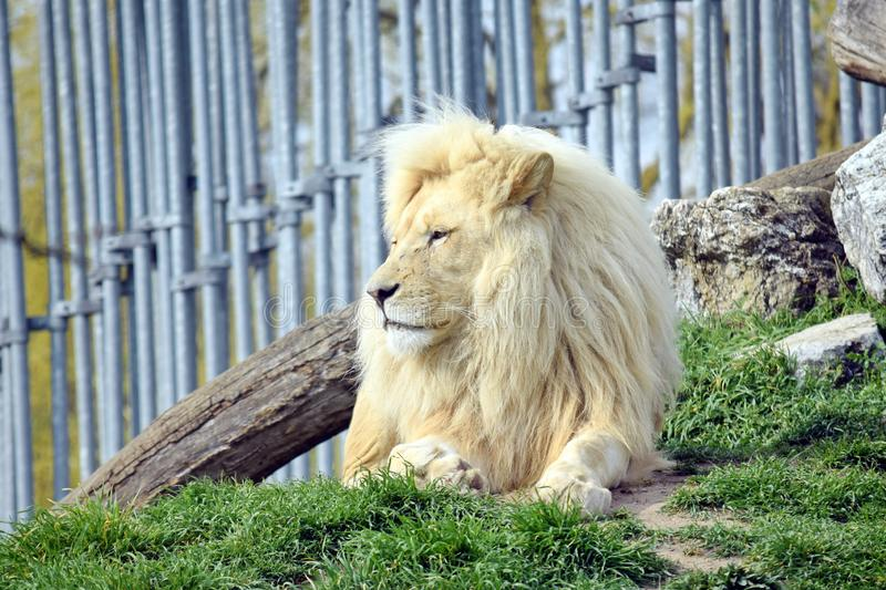 White Lion Resting Panthera Leo Krugeri. Resting on Grass royalty free stock photo