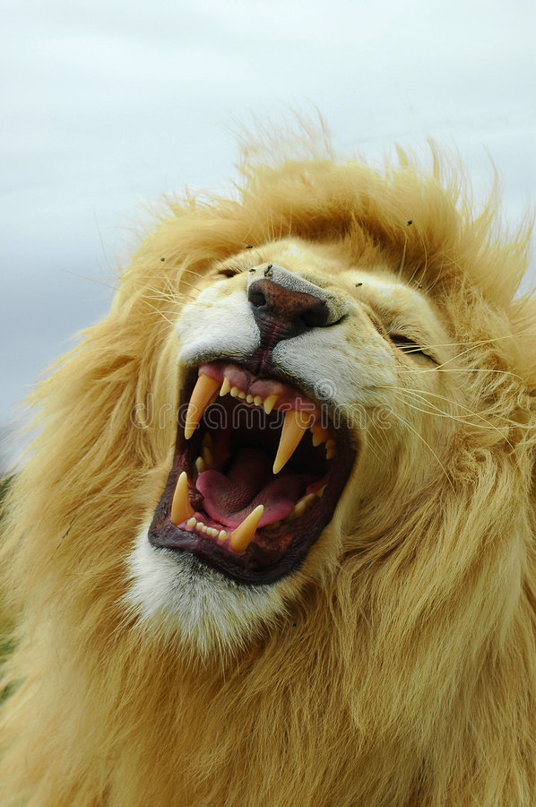 White lion roar. A beautiful African white lion male head portrait showing his teeth by yawning with an aggressive expression in his face in a game reserve in stock photos