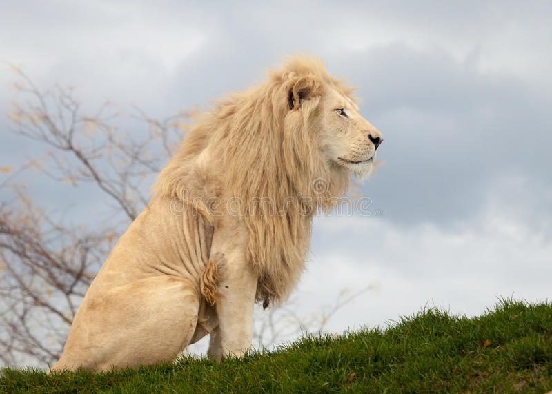 White lion. Sitting on the grass stock photography