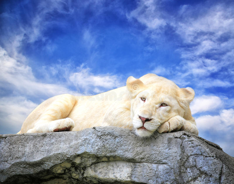 White lion sleep on the rock. With blue sky background stock images