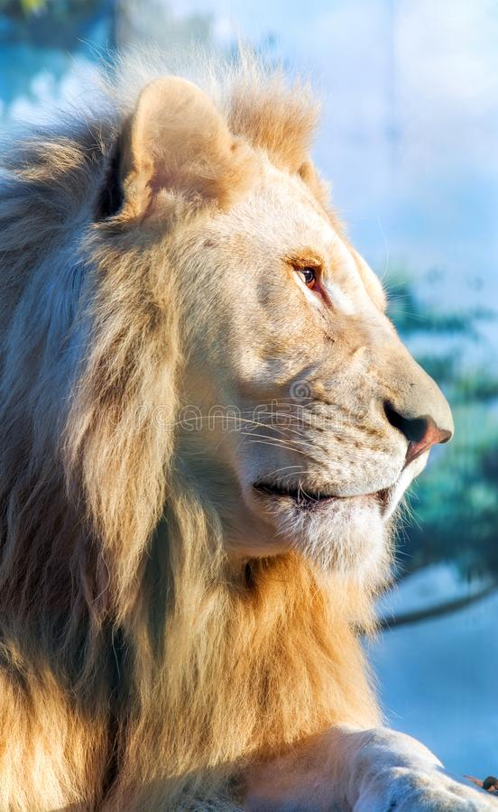 White lion. A thoughtful look into the distance. Animal Predator in the wild. Blurred background and sun glare on the photo stock photos
