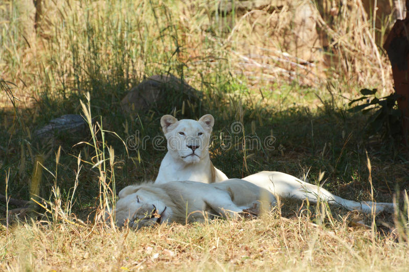 White lion. Two white lion is laying relaxed in his habitat royalty free stock images
