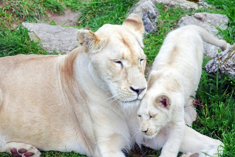 White Lioness Panthera Leo Krugeri Resting with Cub stock photo