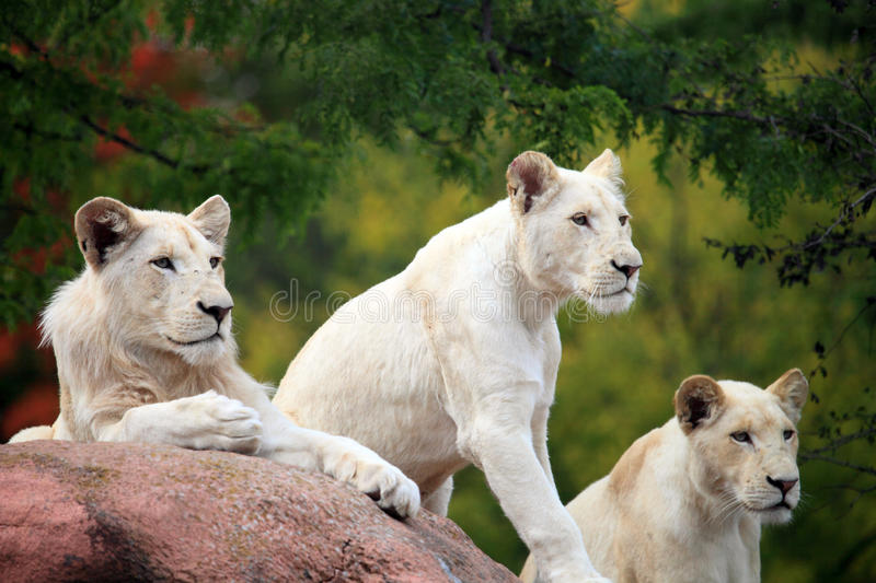 White lions. Snapshot of white lions when travelling at zoo stock photos
