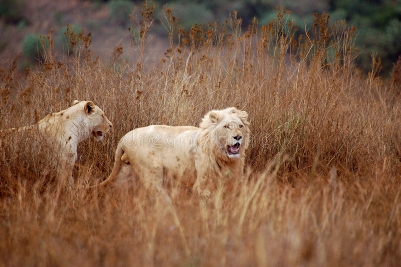 White Lions stock photos