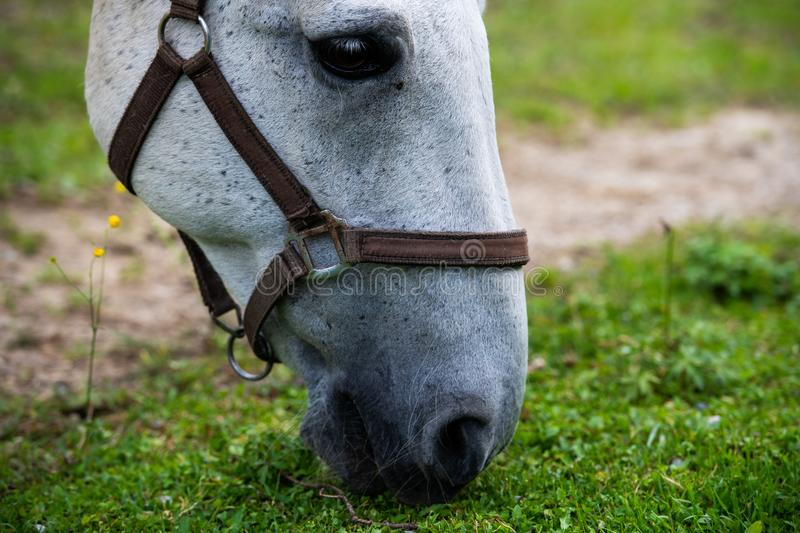 White Lipizzan Horse Grazing in Stable, close up stock photos