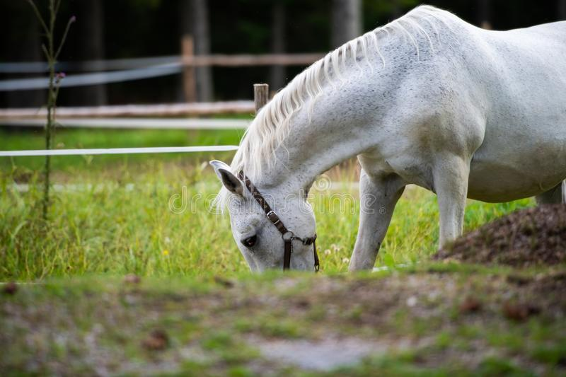 White Lipizzan Horse Grazing in Stable stock image