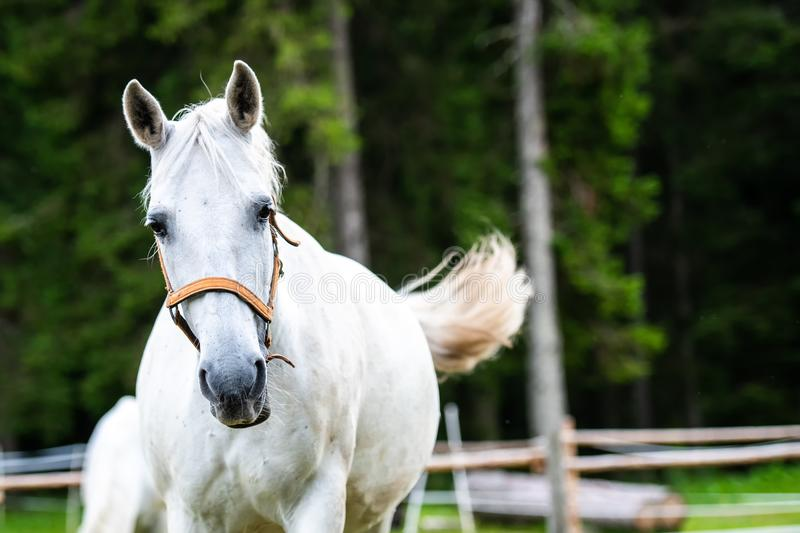 White Lipizzan Horse running in Stable. White Lipizzan Horse running, galloping in Stable, Lipizzan horses are a rare breed and most famous in Viennese Spanish royalty free stock photography